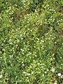 Thesium linophyllon (Mittel-Leinblatt) 2639 IMG.JPG