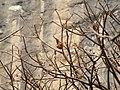 Thick-billed Flowerpecker Dicaeum agile nest by Raju Kasambe 02.jpg