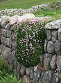 Thrift on a Stone Wall - geograph.org.uk - 810861.jpg