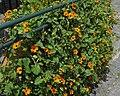 Thunbergia orange flower and protruding Pellaea - Flickr.jpg