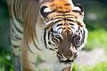 Tiger Walking Forward (19512448755).jpg