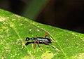 Tiger beetle (Neocollyris arnoldi) (5134642773).jpg