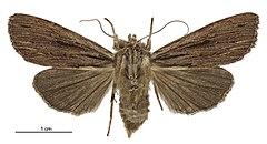 240px tmetolophota steropastis female