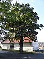 Točná - dva památné duby na rohu ulic Branišovská a K Výboru (4).jpg
