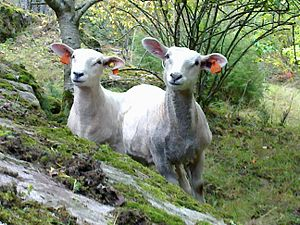 This is a picture of two lambs.