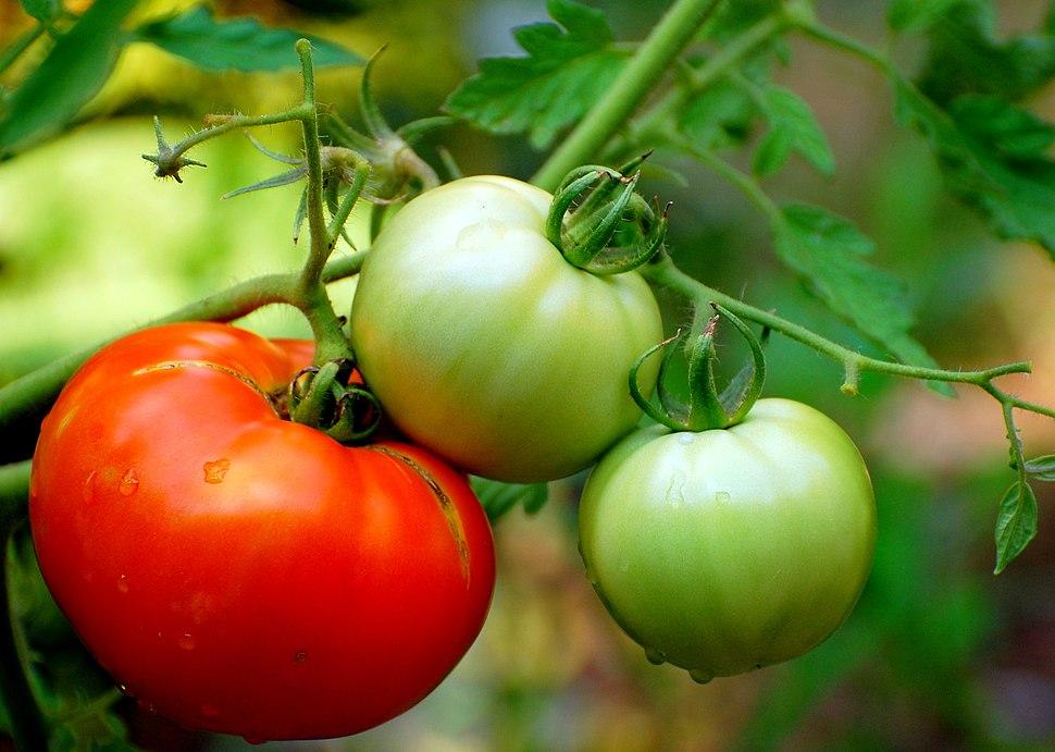 Tomato2 002