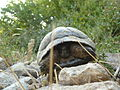 Tortoise on Lezhë Castle hill.JPG