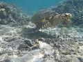 Tortue verte au Lagon la Saline - Ile de la Réunion.jpg