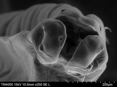 Toxocara canis Scanning electron micrograph.tif