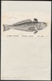Trachinus radiatus - 1700-1880 - Print - Iconographia Zoologica - Special Collections University of Amsterdam - UBA01 IZ13200043.tif