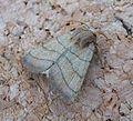 Treble Lines. Charanyca trigrammica - Flickr - gailhampshire (1).jpg