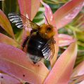 Tree Bumblebee. Bombus hypnorum - Flickr - gailhampshire.jpg