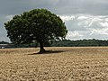 Tree and farmland next to Peak's Copse - geograph.org.uk - 230140.jpg