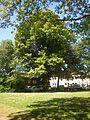 Tree near Burgholzstraße, Dortmund - panoramio.jpg