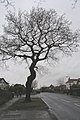 Tree on Cator Lane, Chilwell - geograph.org.uk - 661898.jpg