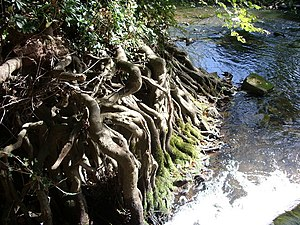 English: Tree roots by the water at Vowchurch