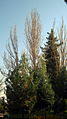 Trees - Mausoleum of Attar - morning - Nishapur 1.JPG
