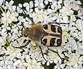 Trichius fasciatus MHNT.jpg