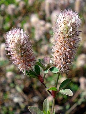 Flower heads of the hare clover (Trifolium arvense)