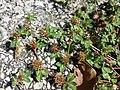 Trifolium scabrum sl11.jpg