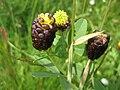Trifolium spadiceum2.JPG