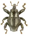 Trigonopterus angulatus holotype - ZooKeys-280-001-g007.jpg