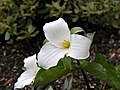 Trillium grandiflorum close up.jpg
