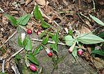 Tripterospermum trinervium fruits.JPG