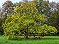 Trompetenbaum Catalpa bignonioides -20201009-RM-170911.jpg