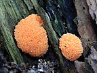 Tubifera ferruginosa, Slime Mould, UK.jpg