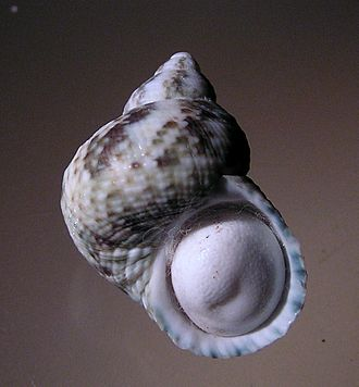 Turbo (gastropod) - Shell and operculum of Turbo tuberculosus