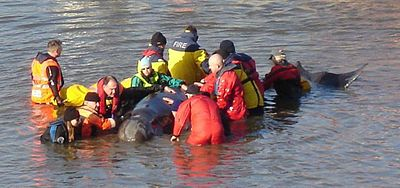 The River Thames whale being calmed by rescuers