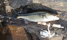 Typical Tallapoosa River Spotted Bass.jpg