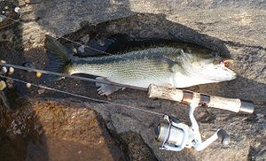 Spotted bass - Typical spotted bass from Tallapoosa River near Tallassee, Alabama (released)