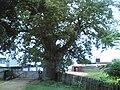 Un baoba à Boma (4176706470).jpg
