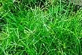 Unidentified Poaceae 08594.jpg