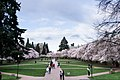 University of Washington Cherry Blossoms (33670657511).jpg