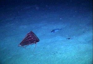 Unusual type of deep sea medusae