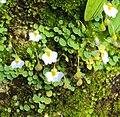 Utricularia striatula 15.JPG