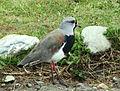 Vanellus chilensis.jpg