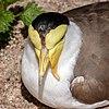Vanellus miles - Karlsruhe Zoo.jpg
