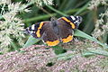 Vanessa atalanta – in Nature Park Velký Kosíř 2.jpg
