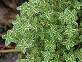 Variegated Lemon Thyme Thymus citriodorus variegata Leaves 3264px.JPG