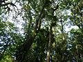 Vegetación de la Reserva de la Biosfera La Amistad Panama (RBLAP) 34.JPG