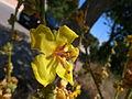 Verbascum sinuatum 2 Sos Alinos Cala Liberotto 16072014 40.4333443, 9.7743612.jpg