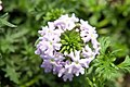 Verbena Babylon Light Blue 0zz.jpg