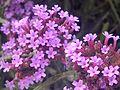 Verbena bonariensis-20140805-1.jpg