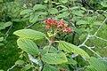 Viburnum glomeratum kz1.jpg