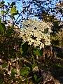 Viburnum prunifolium - Blackhaw.jpg
