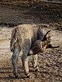 Vier Wochen altes Eselfohlen.JPG